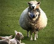 wolf-in-sheep